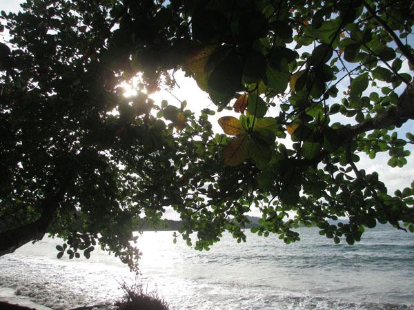 almond tree cocles