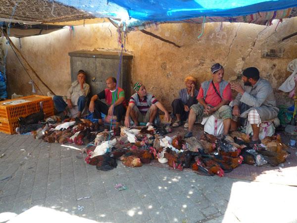 morocco chickens