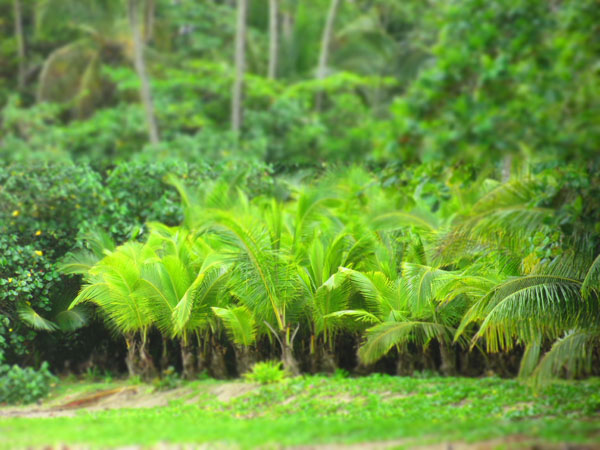 palm trees cocles