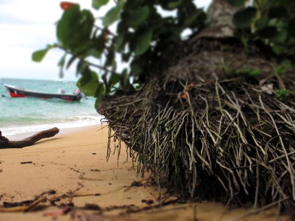 arrecife beach roots