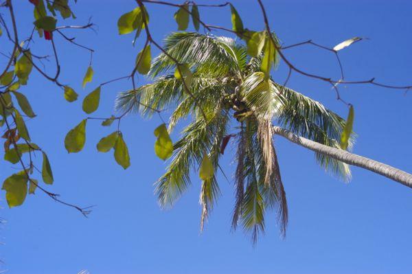 playa samara palm tree