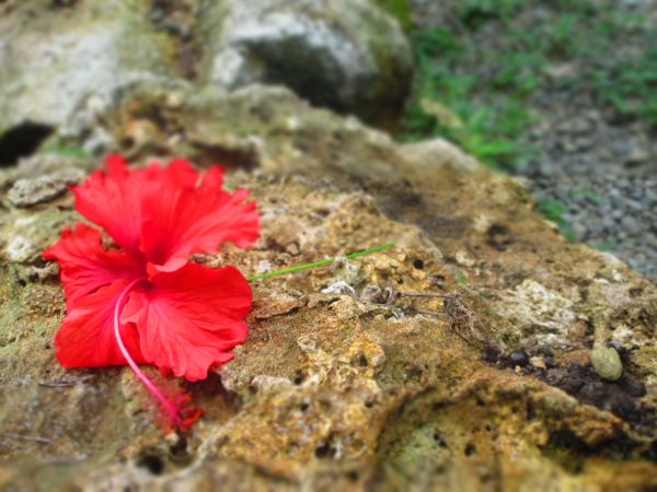 hibiscus flower Cahuita