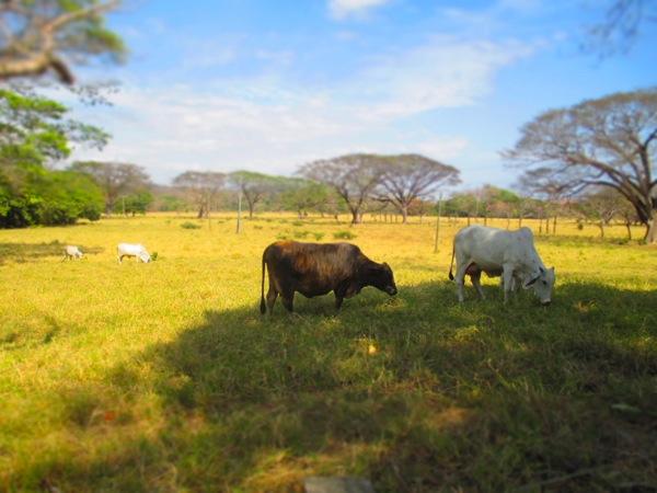 cattle samara