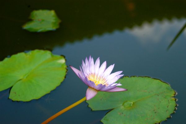 lotus flower hawaii