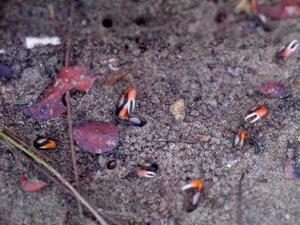 crab pinchers sand