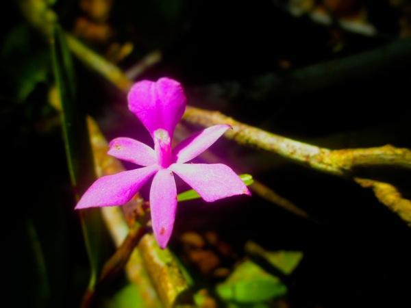 purple wild orchid in the jungle