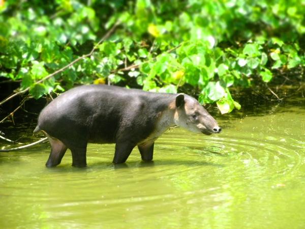 Baird's Tapir Corcovado