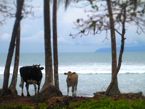 cows beach pavones