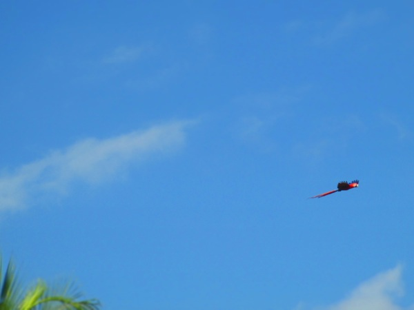 scarlet macaws pavones