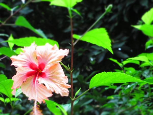 hibiscus costa rica